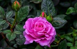 Flor tropical de la rosa de la púrpura Fotos de archivo libres de regalías