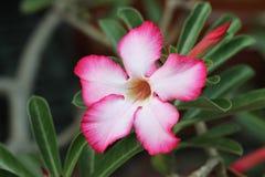 Flor tropical del balneario Fotografía de archivo