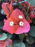 Flor tropical del blanco tres de la buganvilla fotos de archivo