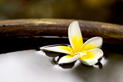 Flor tropical del frangiapani que flota en agua Foto de archivo