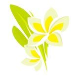 Flor tropical del Frangipani Foto de archivo libre de regalías