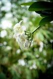 Flor tropical del Frangipani Foto de archivo