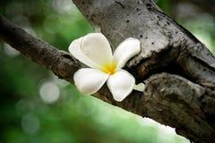 Flor tropical del Frangipani Imagen de archivo