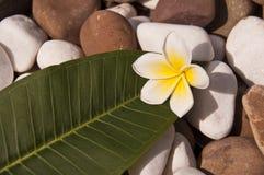 Flor tropical del frangipani del Plumeria y hoja verde Imagen de archivo libre de regalías
