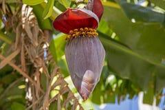 Flor tropical del plátano fotos de archivo