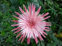Flor tropical del protea de rey Foto de archivo libre de regalías