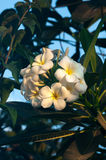 Flor tropical do frangipani branco, flor que floresce na árvore, flor do plumeria dos termas Fotos de Stock Royalty Free