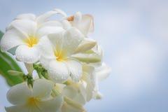 Flor tropical do frangipani branco, florescência da flor do plumeria Fotos de Stock