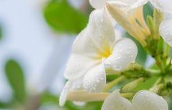 Flor tropical do frangipani branco, florescência da flor do plumeria Imagens de Stock Royalty Free