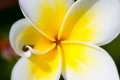Flor tropical dos leus Imagem de Stock Royalty Free