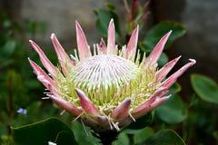 Flor tropical (Fynbos) Fotografía de archivo libre de regalías