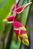 Flor tropical Heliconia Foto de archivo