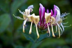 Flor tropical hermosa Foto de archivo