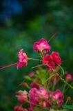 Flor tropical hermosa de Phoenix de la planta Fotografía de archivo
