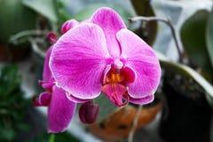 Flor tropical hermosa del phalaenopsis rosado de la orquídea Imágenes de archivo libres de regalías