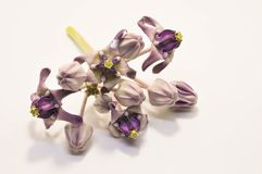 Flor tropical, manojo de flor de la corona o Calotropis Gigantea en el fondo blanco aislado Fotos de archivo libres de regalías
