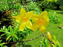 Flor tropical na Rep?blica Dominicana imagens de stock