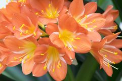 Flor tropical ornamental anaranjada del miniata de Clivia, manojo de flores fotografía de archivo libre de regalías