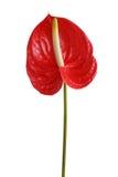 Flor tropical roja fotos de archivo