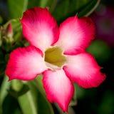 Flor tropical roja imagen de archivo libre de regalías