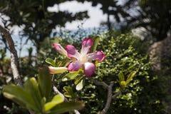 Flor tropical rosada del Adenium en rama de árbol Fotografía de archivo