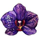 A flor tropical roxa violeta da orquídea da aquarela isolou o vetor Fotografia de Stock