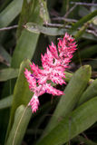 Flor tropische Rosa stockbilder