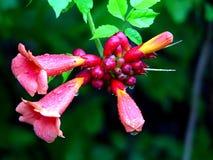 Flor tubular imagem de stock royalty free