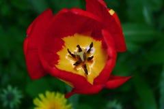 Flor Tulipa Tulipa vermelha em uma grama verde foto de stock royalty free