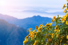 Flor Tung Bua Tong de la naturaleza del paisaje de la puesta del sol foto de archivo libre de regalías