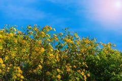 Flor Tung Bua Tong de la naturaleza del paisaje de la puesta del sol foto de archivo