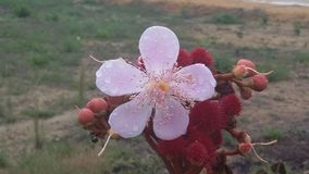Flor urucu. For tropical  amazônica , natureza Stock Images
