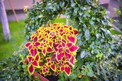 Flor variegated Blumei do Coleus imagem de stock