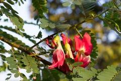 Flor vegetal del rojo del pájaro del tarareo Fotos de archivo libres de regalías