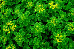Flor verde Foto de Stock Royalty Free