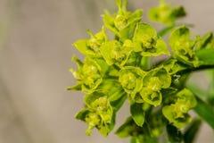 Flor verde Foto de archivo libre de regalías