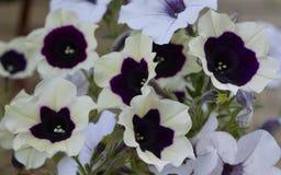 Flor verde blanca f roja del jardín de la belleza del flor del verano de la azalea de la prímula de la flora del amor del pétalo  Imagenes de archivo