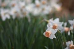 Flor verde branca da mola de Bokeh Fotos de Stock Royalty Free