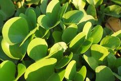 Flor verde da praia fotos de stock