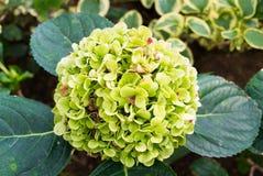 Flor verde de la hortensia Imagen de archivo libre de regalías