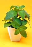 Flor verde de la menta en un fondo amarillo Fotos de archivo
