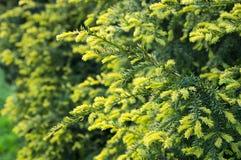 Flor verde de las agujas del pino spruce Imagenes de archivo