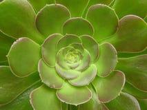 Flor verde de los cactos Foto de archivo libre de regalías