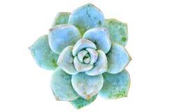 Flor verde del cactus Fotografía de archivo