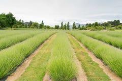 Flor verde del campo de la lavanda en Queentown Fotos de archivo