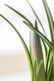 Flor verde do açafrão Fotografia de Stock