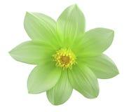 A flor verde do jardim, branco isolou o fundo com trajeto de grampeamento closeup Foto de Stock Royalty Free