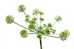 Flor verde luxúria do maculatum do Conium Fotografia de Stock Royalty Free