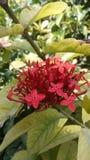 Flor vermelha 'de Newellii 'do fasciculatum do Cestrum foto de stock