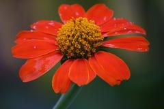 A flor vermelha fotografia de stock royalty free